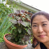 Garden to Table:  Red Shiso Juice